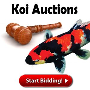 Koi Auctions