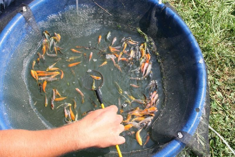 The koi breeding process hanover koi farms for Koi reproduction