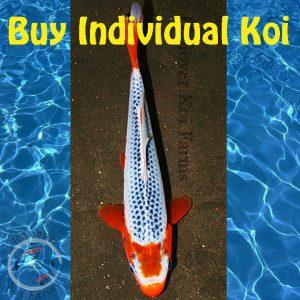 Individual Koi for Sale