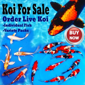 Koi and Butterfly Koi For Sale