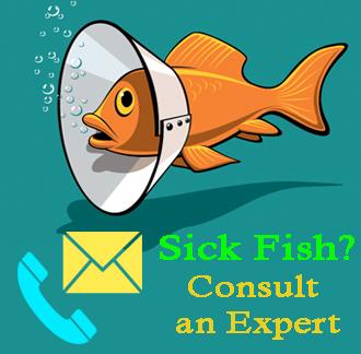 Sick fish and pond consultations hanover koi farms for Sick koi fish