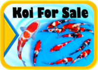 Koi for sale Hanover Koi farms