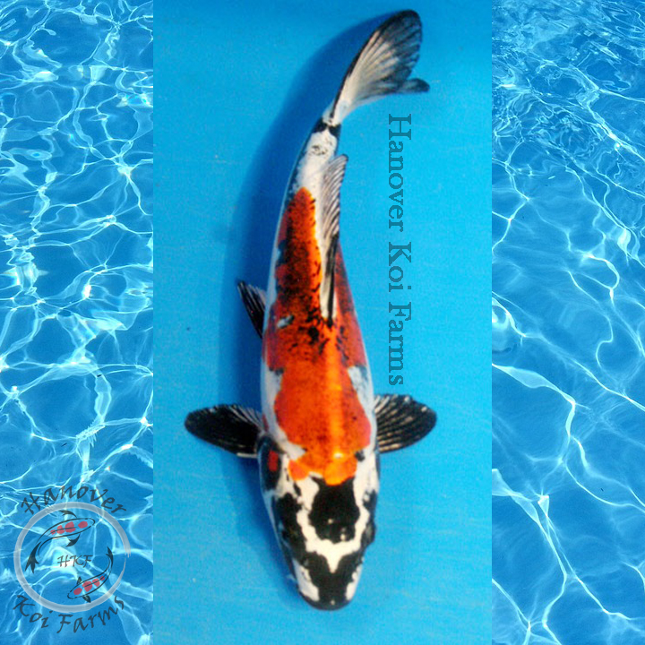 Beni kikokuryu 8 10 hanover koi farms for Expensive koi for sale