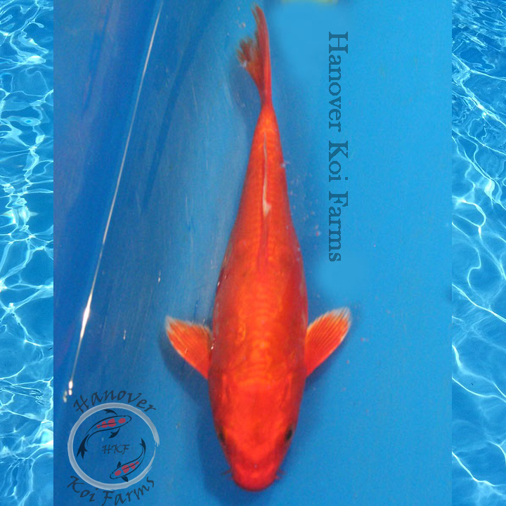 Doitsu orenji ogon 6 8 hanover koi farms for Expensive koi for sale
