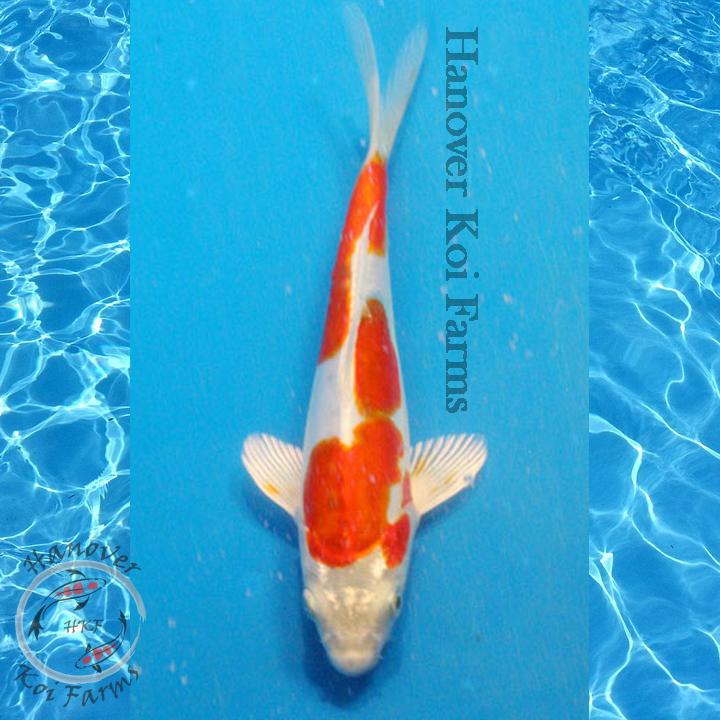 Doitsu hariwake 6 8 hanover koi farms for Expensive koi for sale