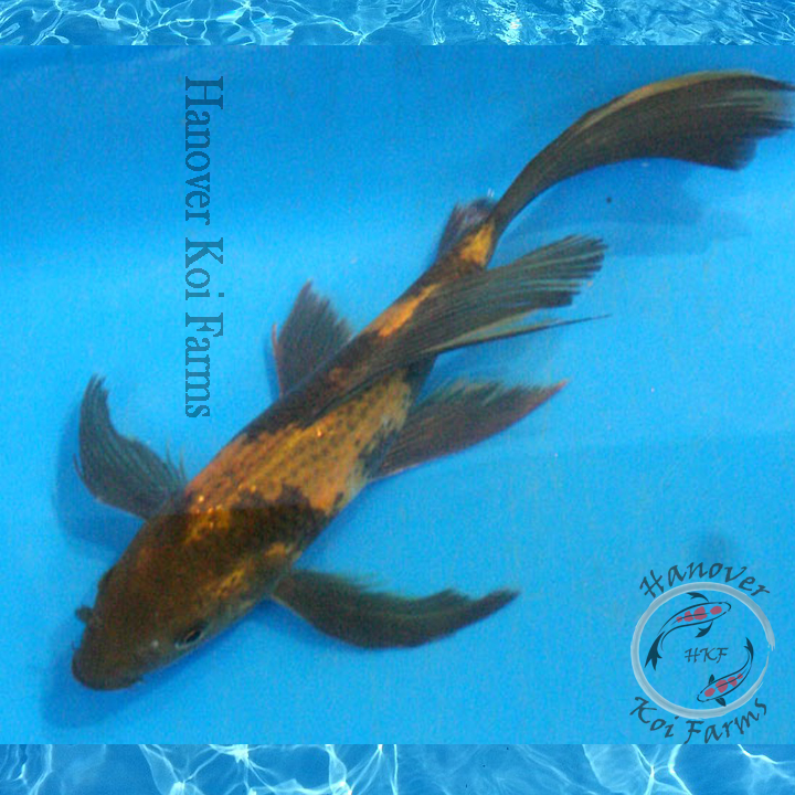 Hi utsuri butterfly 8 10 hanover koi farms for Expensive koi fish for sale