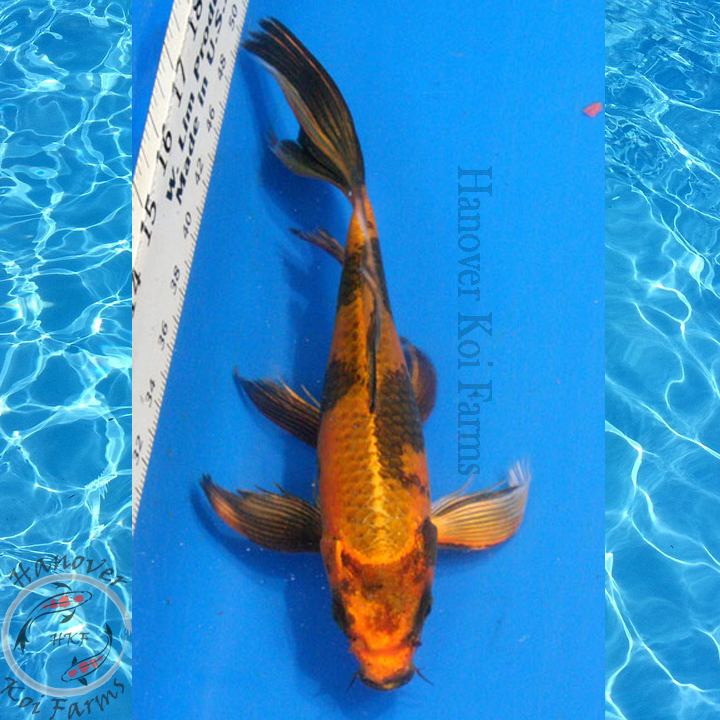 Kin hi utsuri butterfly 8 10 hanover koi farms for Expensive koi for sale