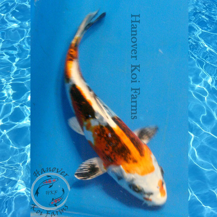 Kin kikokuryu 6 8 hanover koi farms for Expensive koi for sale