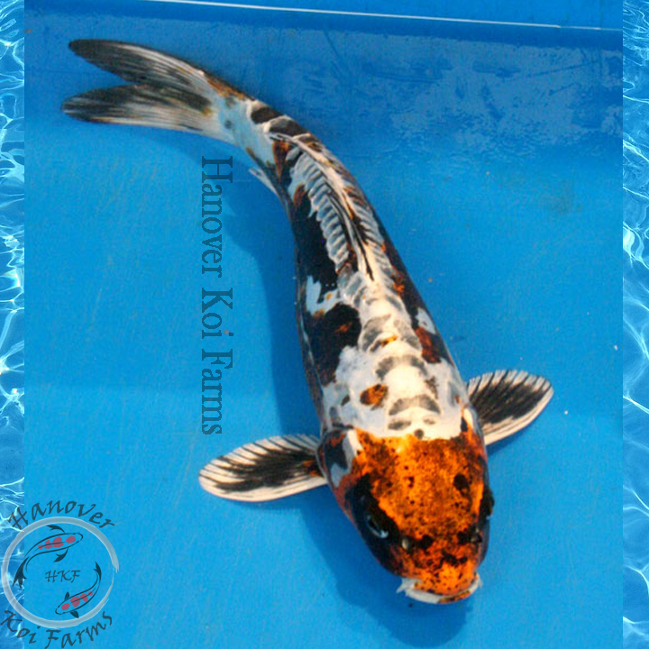 Kin kikokuryu 8 10 hanover koi farms for Expensive koi for sale