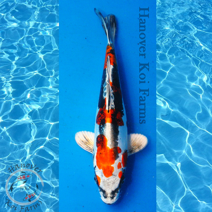 Beni kikokuryu 6 8 hanover koi farms for Expensive koi carp for sale