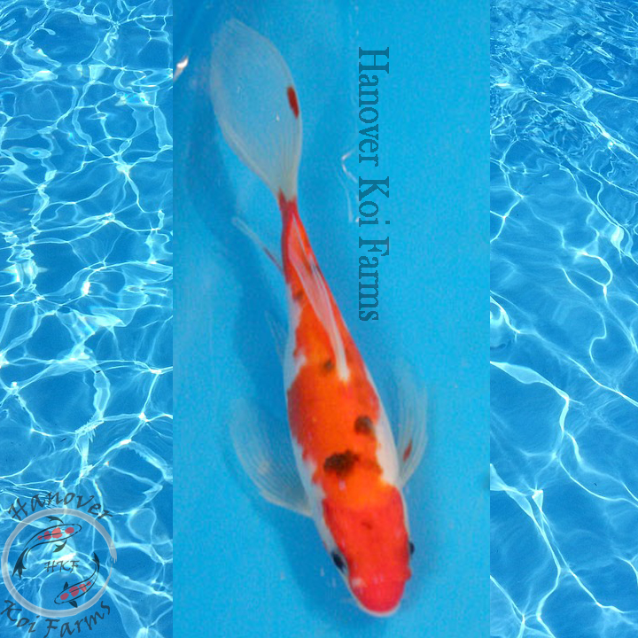 Sanke butterfly 6 8 hanover koi farms for Sanke koi for sale