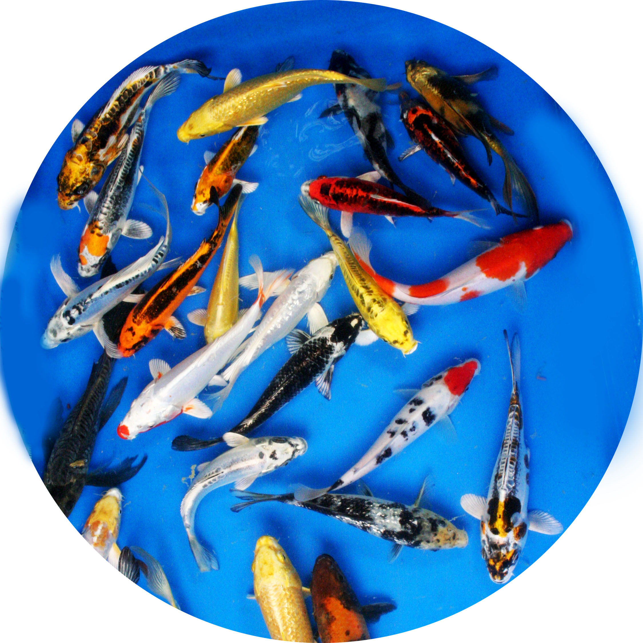 Premium grade butterfly fin variety pack 8 10 2 fish for Expensive koi fish for sale