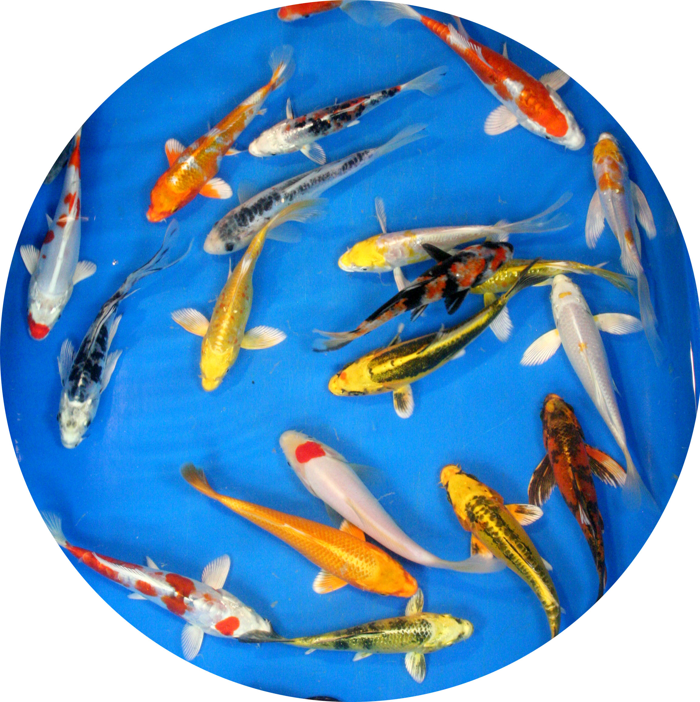 Select grade butterfly fin variety pack 4 6 4 fish for Expensive koi fish for sale